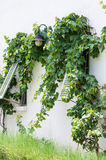 Wooden window with vine Royalty Free Stock Photos