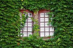 Wooden windows covered by ivy Stock Photos