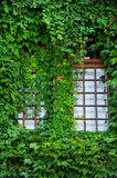 Wooden windows covered by ivy Stock Photography