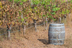 Wine keg and grapevines in a vineyard Royalty Free Stock Photography