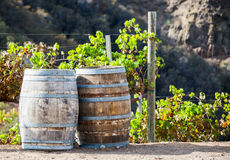 Wine kegs and grapevines in a vineyard Royalty Free Stock Images
