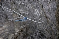Woodhouse`s Scrub Jay in Winter Perched Among Grey Branches and Twigs. Woodhouse`s Scrub Jay Aphelcoma woodhouseii in Winter Perched Among Grey Branches and royalty free stock image