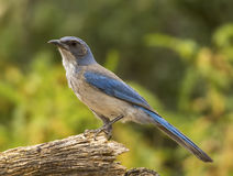 Woodhouse`s Scrub Jay. A beautiful Woodhouse`s Scrub-Jay rests on a dried log as it approaches an Arizona feeding station Royalty Free Stock Photos