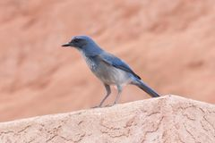Little Bird Blue. A Woodhouse`s Scrub Jay at The Garden Of The Gods Royalty Free Stock Images