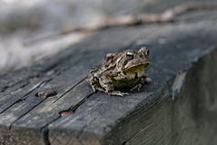 Woodhouse's toad Royalty Free Stock Images