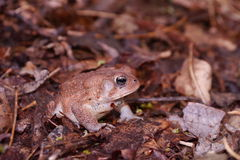 Woodhouse's toad. The Woodhouse's Toad, (Bufo woodhousii) is a medium-sized (4 inches or 10 centimetres) true toad, which is native to the United States and Royalty Free Stock Photography