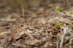 Woodhouse's toad. Bufo woodhousii (Woodhouse's toad) is a medium-sized true toad native to the United States and Mexico Royalty Free Stock Photography