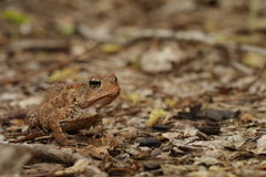 Woodhouse's toad. Bufo woodhousii (Woodhouse's toad) is a medium-sized true toad native to the United States and Mexico Stock Photo