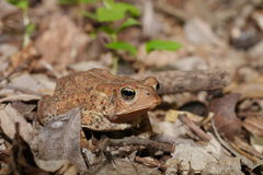 Woodhouse's toad. Bufo woodhousii (Woodhouse's toad) is a medium-sized true toad native to the United States and Mexico Stock Photography