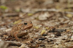 Woodhouse's toad Stock Photography
