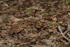 Woodhouse's toad. Bufo woodhousii (Woodhouse's toad) is a medium-sized true toad native to the United States and Mexico Royalty Free Stock Photos