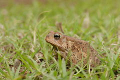 Woodhouse's toad. Bufo woodhousii (Woodhouse's toad) is a medium-sized true toad native to the United States and Mexico Royalty Free Stock Image