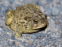 Woodhouse's Toad at Night. A Woodhouse's Toad (Anaxyrus woodhousii) at night Stock Photos