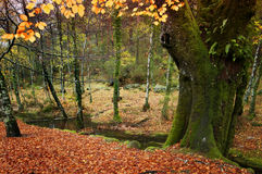 Woodland in autumn Stock Photography