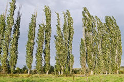 Woodland belt poplar. Summer landscape - row of tall poplar trees against the backdrop of thunder clouds Stock Photography