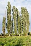 Woodland belt poplar Stock Photos