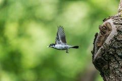 Woodland bird flying Royalty Free Stock Photos