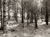Woodland. Black and white woodland scene, tress in winter stock photo