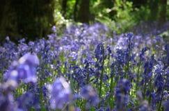 Woodland Bluebells Royalty Free Stock Images