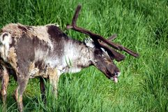 Woodland Caribou. Grazing in a grass field Stock Photos