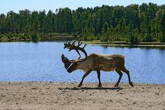 Woodland caribou. Walking near lake water stock photography