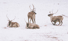 Woodland Caribou In A Winter Landscape Royalty Free Stock Photo