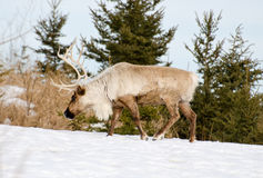 Woodland caribou. In a winter scene Royalty Free Stock Photo
