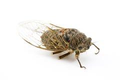 Woodland Cicada Royalty Free Stock Photography