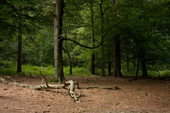 Woodland clearing Royalty Free Stock Photo