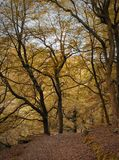Woodland clearing in autumn beech forest with tall old trees and fallen leaves along a stone lined path in a steep valley Stock Photo