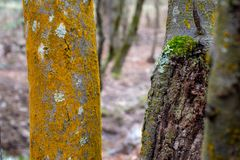 Woodland Tree Trunks, Orange Moss, Lichen and Textured Bark stock photo