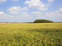 Woodland copse and ripening wheat fields Stock Photography