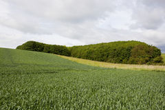 Woodland copse and wheat Stock Photography