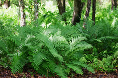 Woodland Ferns. Fern in the understory of a woodland's edge in Wilmington, North Carolina Stock Photography