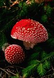 Woodland Fly Agaric (Amanita muscaria) Royalty Free Stock Image