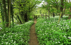 Woodland footpath between masses of flowering wild garlic Stock Images