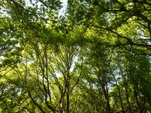 Woodland forest green lush tree canopy background nature texture. Essex; england; uk Stock Photos