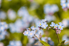 Woodland forget-me-nots Stock Photos