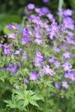 Woodland Geranium Royalty Free Stock Photography