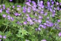 Woodland Geranium Stock Photo