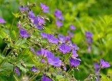 Woodland geranium Stock Photo