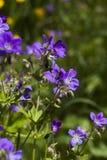 Woodland geranium Royalty Free Stock Image
