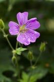 Woodland geranium Stock Photography