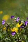 Woodland geranium Royalty Free Stock Photos