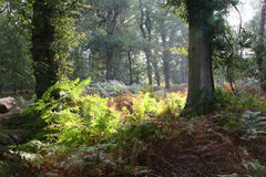 Woodland glade 0345. Woodland scene with sunlight breaking though Stock Images