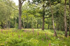 Woodland glade Royalty Free Stock Photography