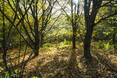 Woodland Glade in the Fall Stock Photo
