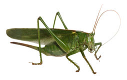 Woodland Grasshopper Royalty Free Stock Images