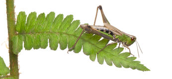 Woodland Grasshopper, Omocestus rufipes, on fern Royalty Free Stock Photo