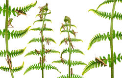 Woodland Grasshoppers, Omocestus rufipes Stock Images